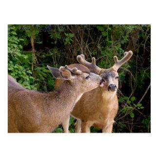 Animal Love Deer Bucks Post Card