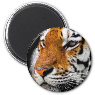 Animal Tiger Cat Amurtiger Predator Dangerous Magnet