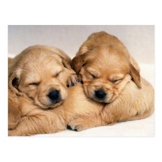 Animals, Cute Puppies Postcard