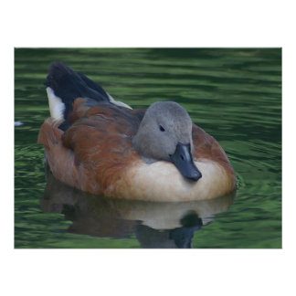 Animals - Gray & Brown Duck Poster