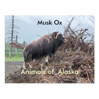 Animals of Alaska-musk ox Postcard