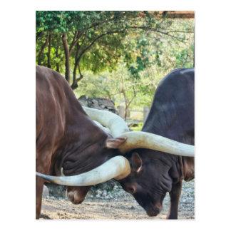 Ankole Cattle Fighting Postcard