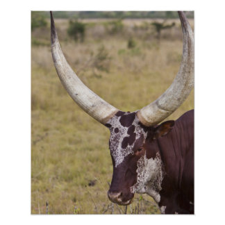 Ankole-Watusi breed of cattle Poster