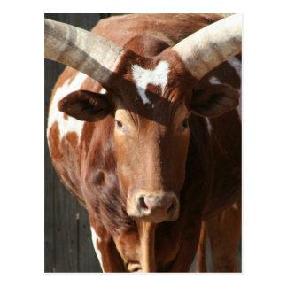 Ankole-Watusi Steer With Huge Horns Postcard