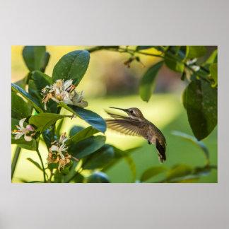 Anna's Hummingbird sipping at a Meyer Lemon Poster