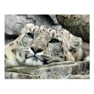 Another monday snow leopard postcard
