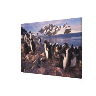 Antarctica, Adelie penguin chicks Gallery Wrap Canvas