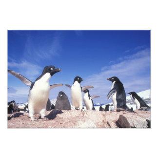 Antarctica, Adelie Penguin Pygoscelis Photo Print