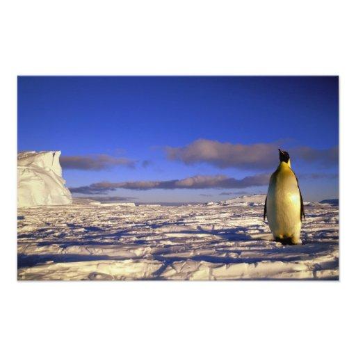 Antarctica, Cape Darnley. Emperor Penguin Photo Art