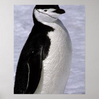 Antarctica. Chinstrap penguin 2 Poster