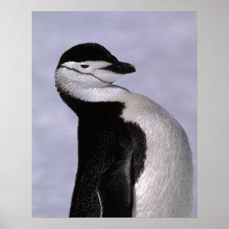 Antarctica. Chinstrap penguin Poster