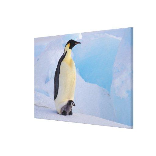Antarctica, Emperor Penguin (Aptenodytes Stretched Canvas Print