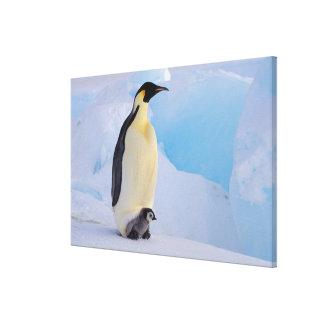 Antarctica, Emperor Penguin (Aptenodytes Gallery Wrap Canvas