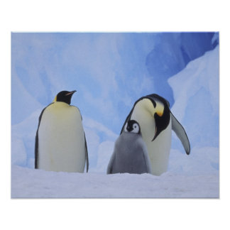 Antarctica. Emperor penguins and chick Poster