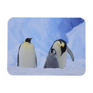 Antarctica. Emperor penguins and chick Rectangular Photo Magnet