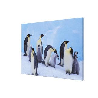 Antarctica, Emporer Penguin ((Aptenodytes Stretched Canvas Print