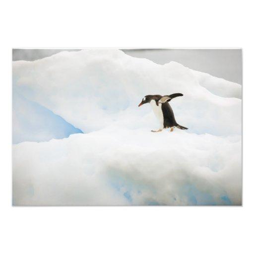Antarctica, Neko Harbor. A gentoo penguin Photographic Print