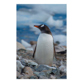 Antarctica. Neko Harbor. Gentoo Penguin Poster