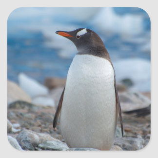 Antarctica. Neko Harbor. Gentoo Penguin Square Sticker