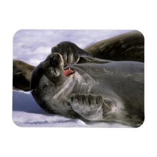 Antarctica, Nelson Island. Southern Furl seal Rectangular Photo Magnet