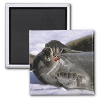 Antarctica, Nelson Island. Southern Furl seal Square Magnet