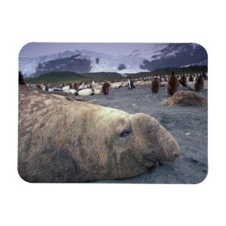 Antarctica, South Georgia Island, Elephant seal Rectangular Photo Magnet