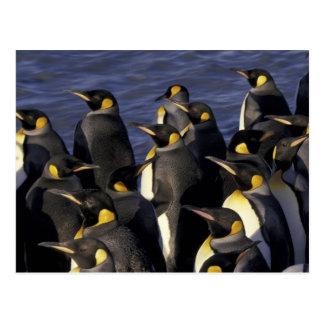 Antarctica, South Georgia Island. King penguins 2 Postcard