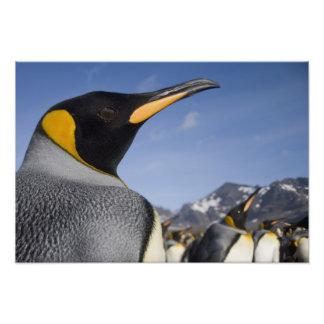 Antarctica, South Georgia Island UK), King Art Photo