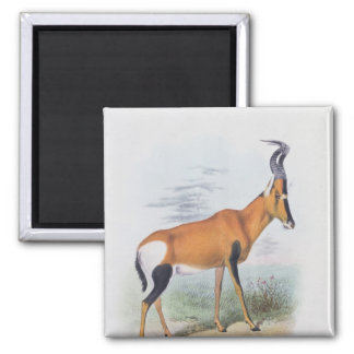 Antelope, from 'The Book of Antelopes', Square Magnet