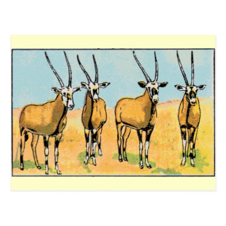 Antelope Postcard