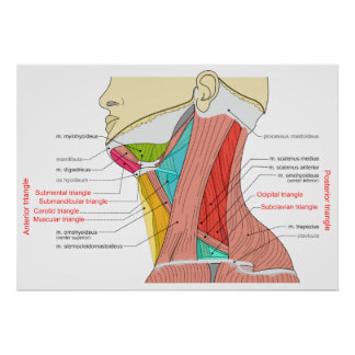 Anterior & Posterior Triangles of the Neck Muscles Poster