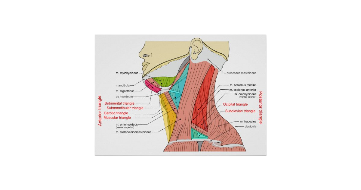 Anterior & Posterior Triangles of the Neck Muscles Poster | Zazzle.ca