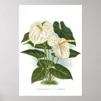 Anthurium andreanum poster