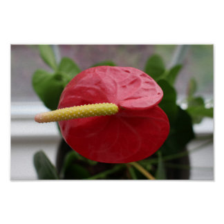 Anthurium, red poster