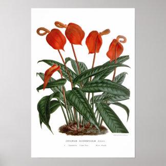 Anthurium scherzerianum poster