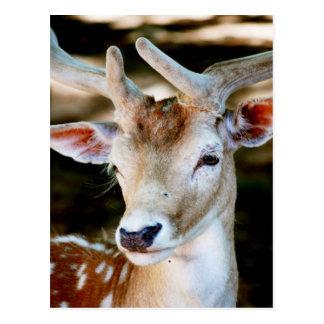 Antigua Fallow Deer Postcard