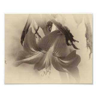 Antique Amaryllis Flower Photo Print