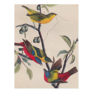 Antique Audubon Painted Bunting Bird Postcard