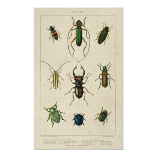 Antique Beetle Chart on Old Stained Paper