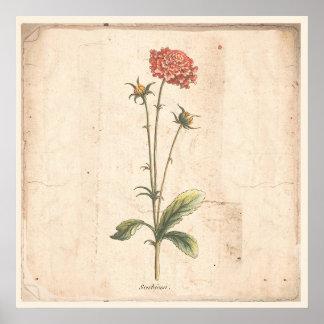 Antique Botanical Poster Pincushion Flower