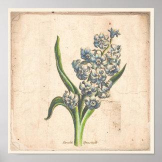 Antique Botanical Print Poster Hyacinth Blooms