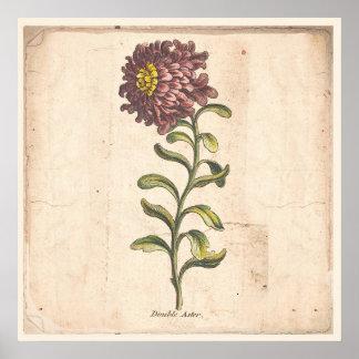 Antique Botanical Print Poster Purple Aster