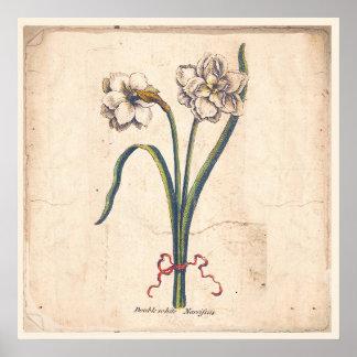 Antique Botanical Print Poster White Narcissus