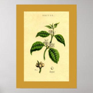 Antique Coffee Plant Botanical Print Poster