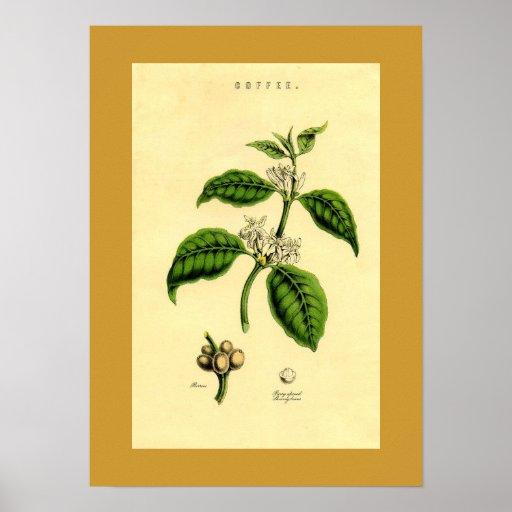 Antique Coffee Plant Botanical Print