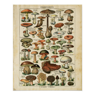 Antique French mushrooms chart print.