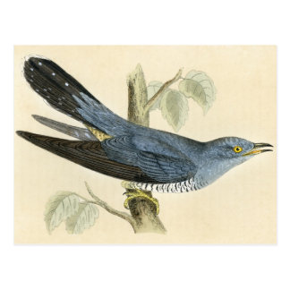 Antique Print of a Common Cuckoo Postcard