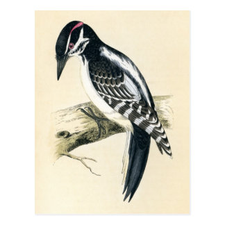 Antique Print of a Hairy Woodpecker Postcard