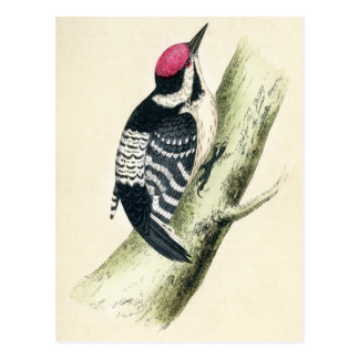 Antique Print of a Lesser Spotted Woodpecker Postcard