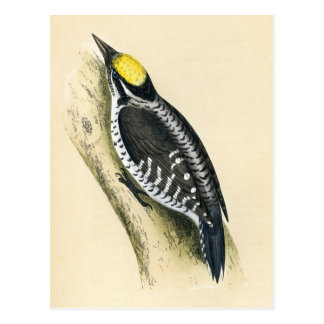 Antique Print of a Three Toed Woodpecker Postcard